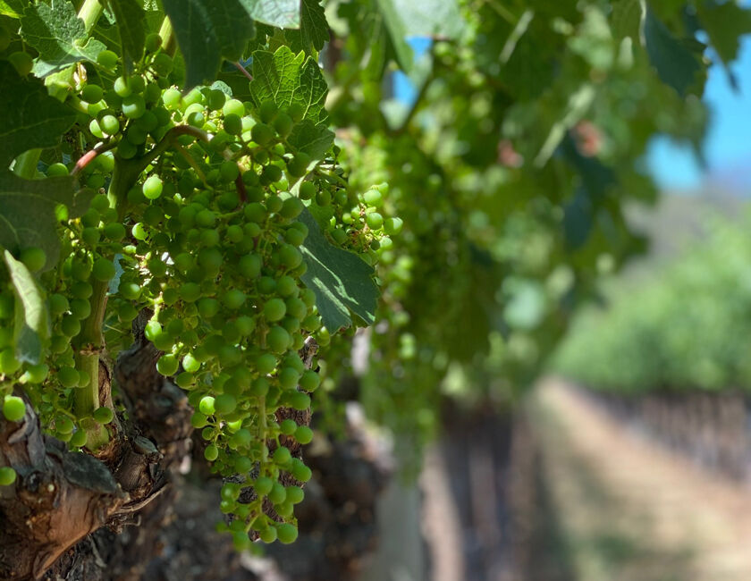 Grape Cluster on Sleeping Lady Vineyard in Yountville