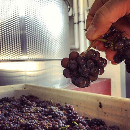 Holding Harvested Grape Cluster in Sterling Winery