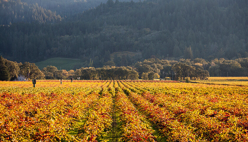 sterling's vineyard in calistoga on the valley floor