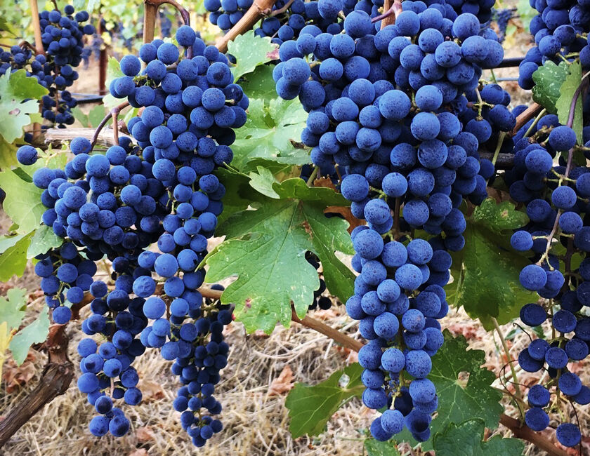Yates Family Vineyard Grape Clusters in Mt. Veeder