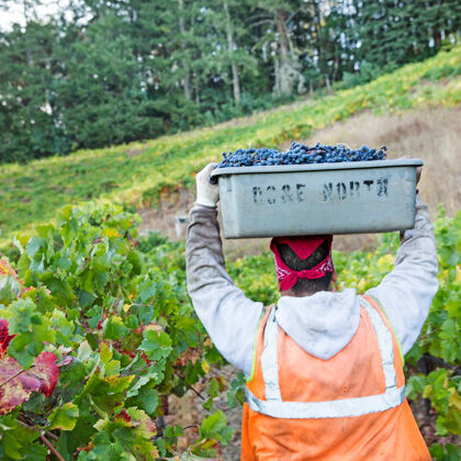 Harvesting Sterling Grapes
